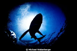 Blueshark in the sun.. by Michael Weberberger 
